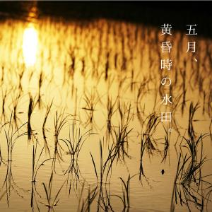 五月、黄昏時の水田